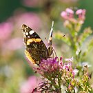 Painted Lady (Vanessa Cardui) butterfly by Neil Clarke