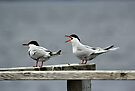 Forester's Tern by Vickie Emms