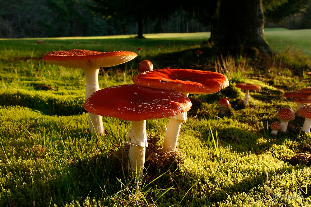 Dangerous Red Cap Toadstools by boydmace