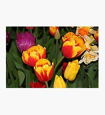 Tulip flowers in bloom 6 Photographic Print