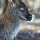 Wallaby in Tasmania by Basa