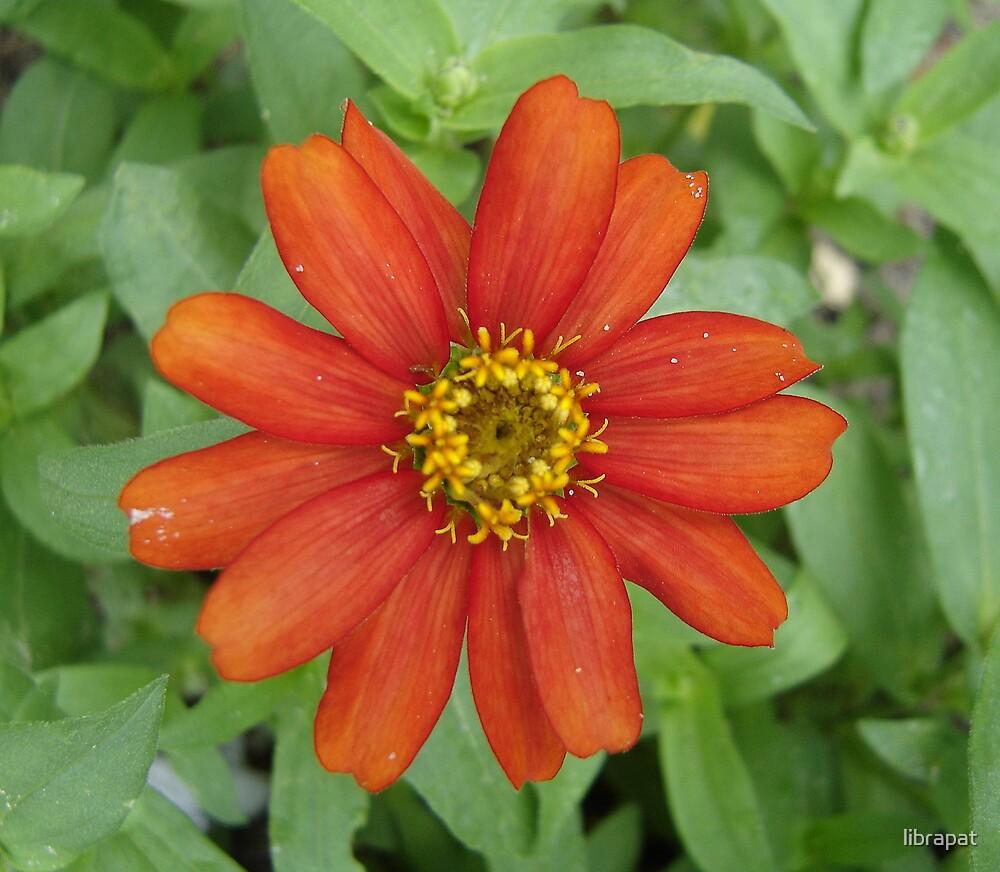 Orange Zinnia by librapat