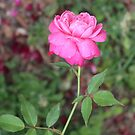 Fairytale Rose by tmcrews