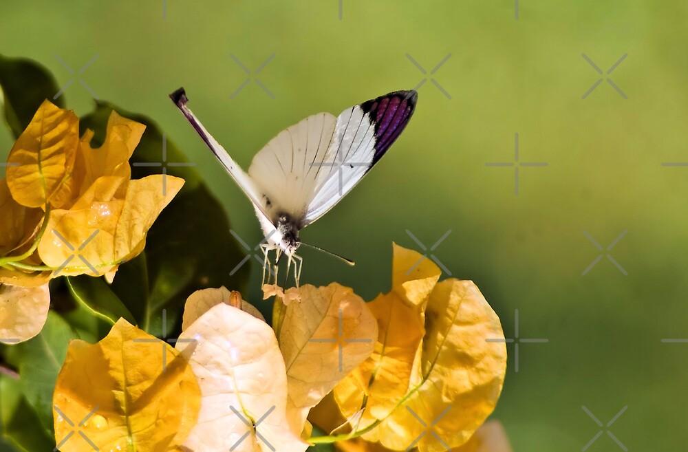 COLOTIS REGINA - Queen purple tip Butterfly by Magriet Meintjes
