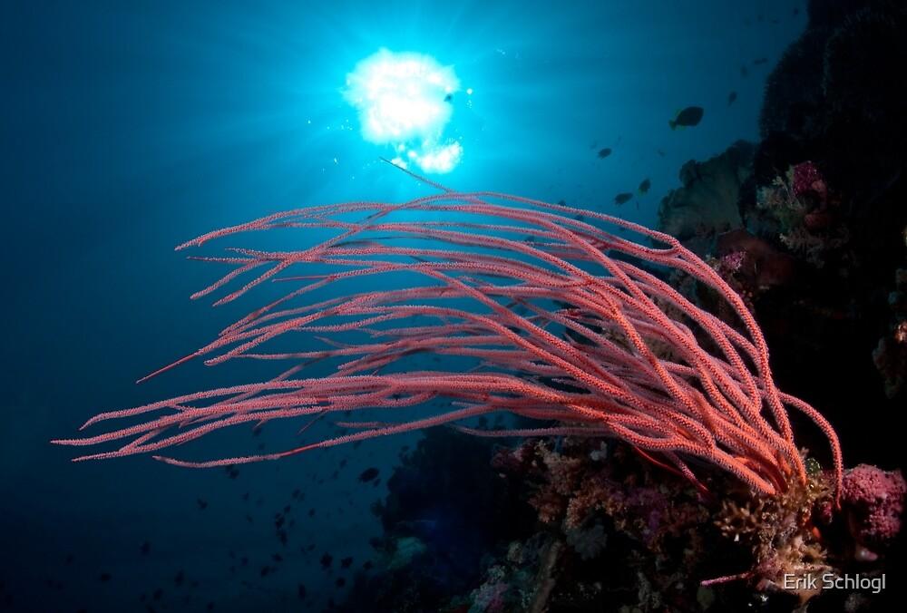 Coral, Wakatobi National Park, Indonesia by Erik Schlogl