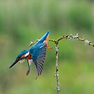 Diving Kingfisher  by M S Photography/Art