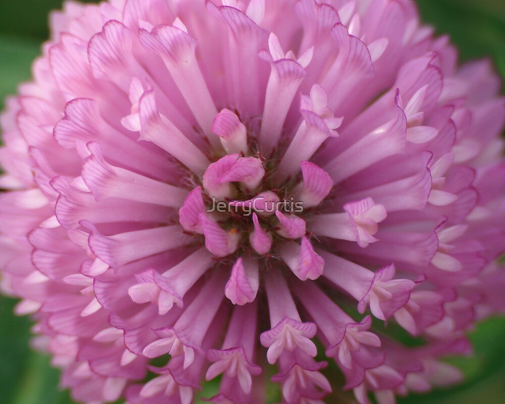 Red Clover Macro by JerryCurtis