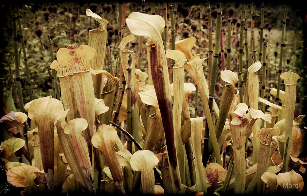 Pitcher Plants by Margi