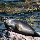 Baikal Seal by karina5