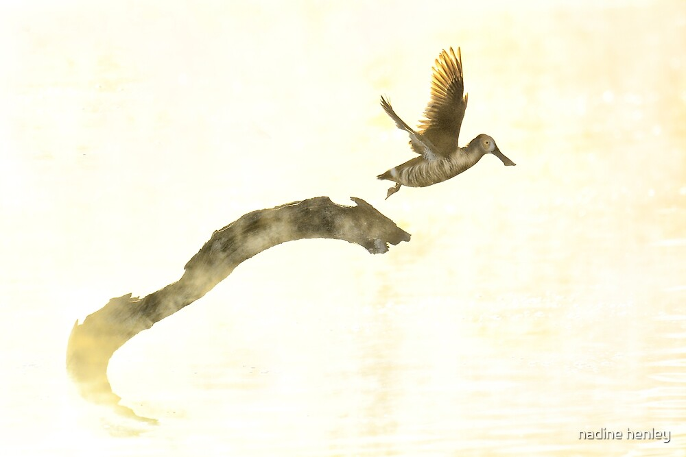 Pink-eared duck takes flight by nadine henley