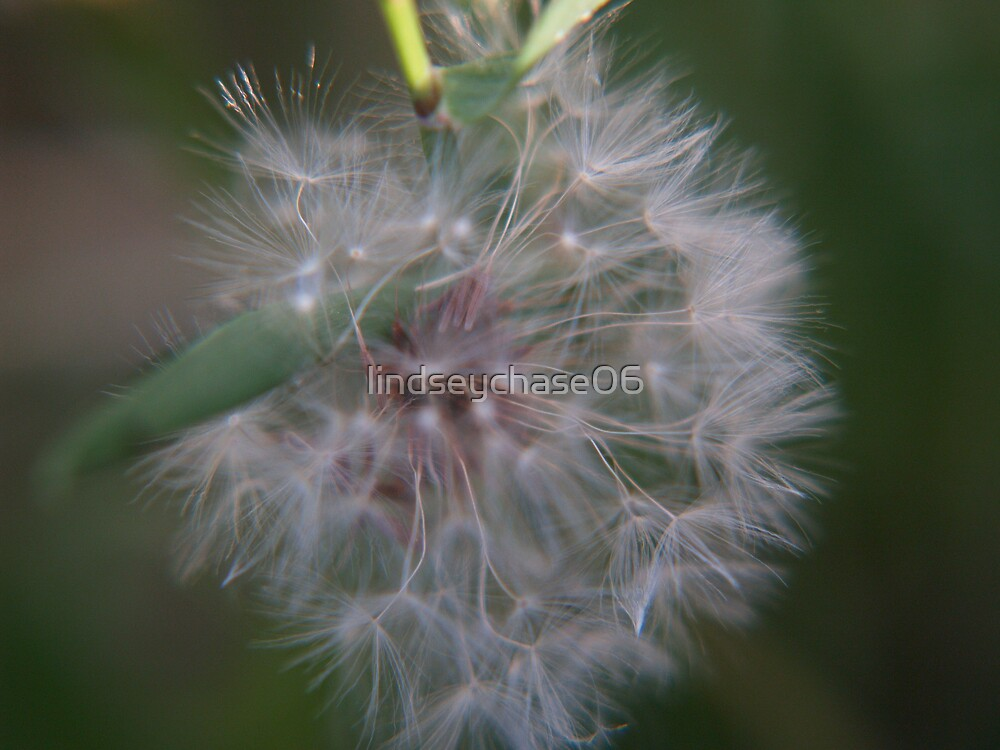 dandilion blowing in the wind by lindseychase06