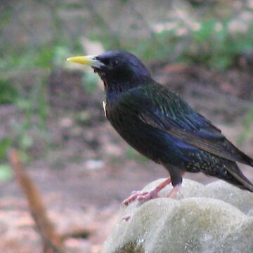 Starling Visitor by TurtleDove