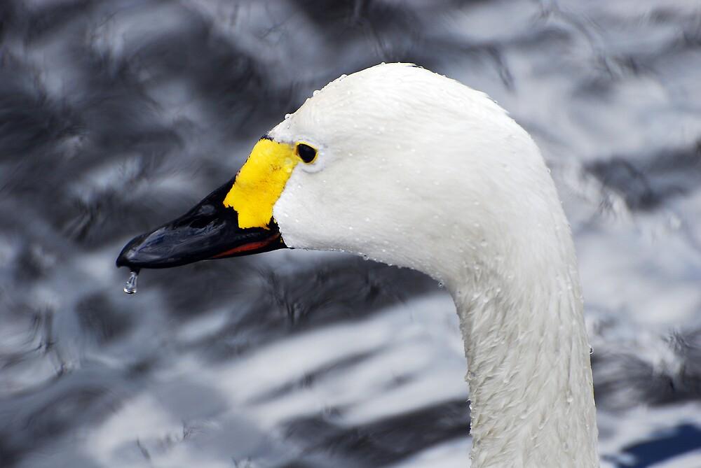 Bewick's Swan by Jay Payne
