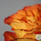 Peeling Orange Rose by RockyWalley