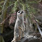 Meerkat on the lookout by gabriellaksz