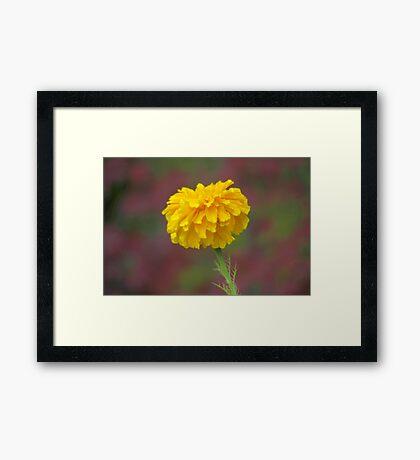 The Marigold Framed Print