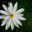 Star White by Kerryn Madsen-Pietsch