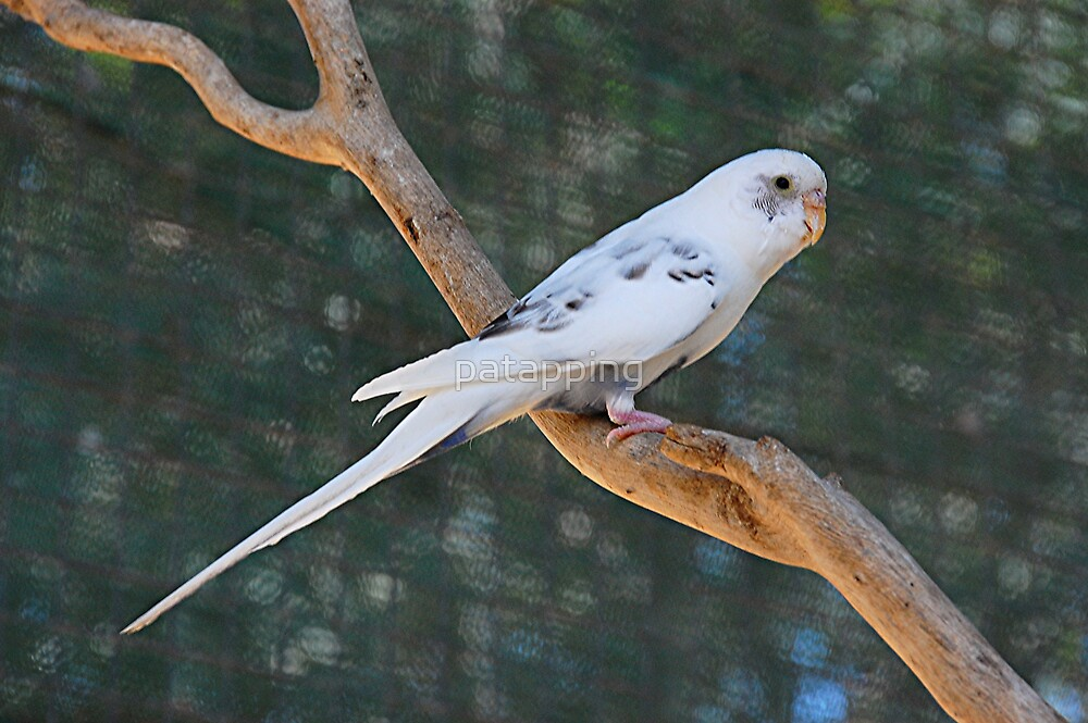 White Budgerigar. Gorge Wildlife Pk. Adelaide by patapping