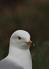 Ring-Billed Gull by Vickie Emms
