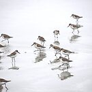 western sandpipers by Mikeinbc1
