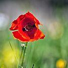 Poppy by Kasia-D