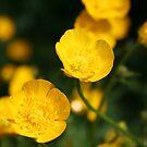 Buttercup by Edward Gunn