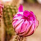 Cactus flower by Thaddeus Zajdowicz