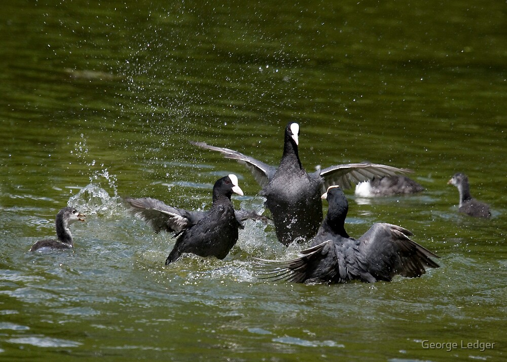 When Coots Attack! by George Ledger
