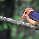 Malachite Kingfisher by Steve Bulford