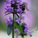 Bumble Bee - Purple Lambs Ear by T.J. Martin
