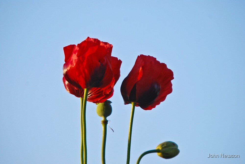 Ref o Poppys by John Newson