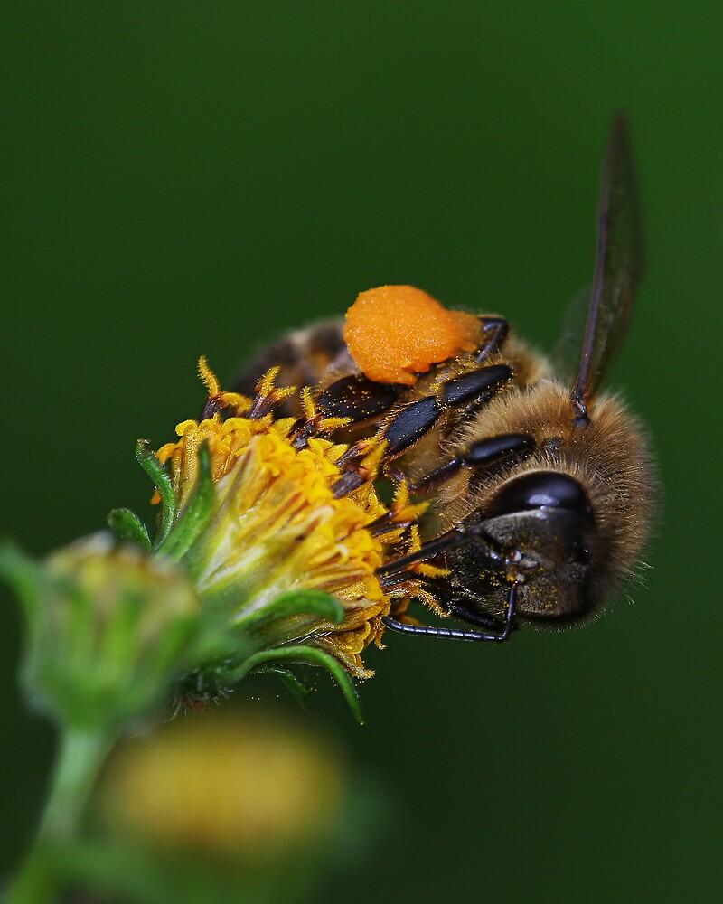 Honey Bee by Greg Carlill