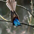 Australian variegated fairy-wren by Janette Rodgers
