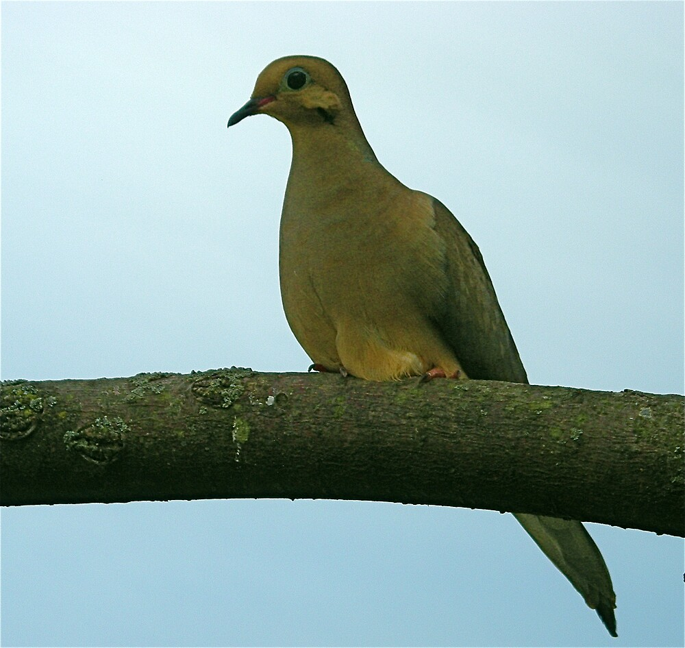 Love Bird (Dove) by Jim Caldwell