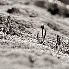 Alpine Sundew by Andrew Smyth