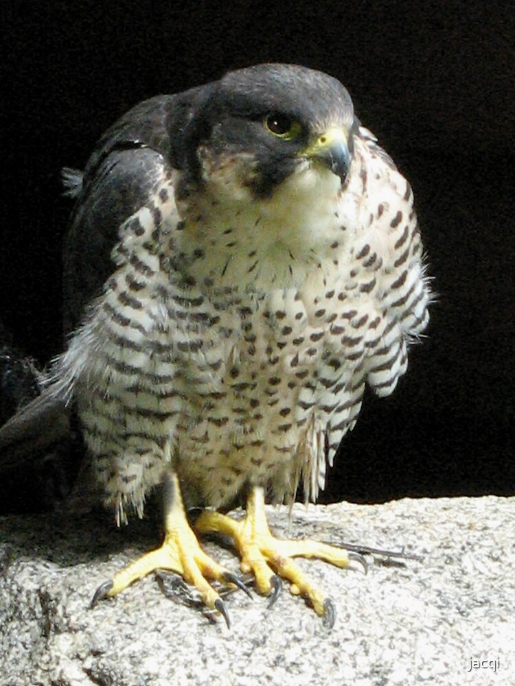 Peregrine Falcon by jacqi