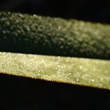 Phormium tenex by wiebke
