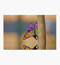 Monarch Butterfly with Reflection Photographic Print