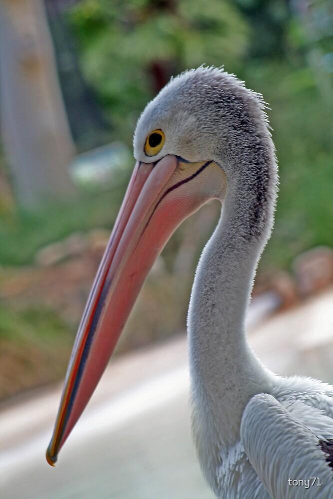 Pelican by tony71