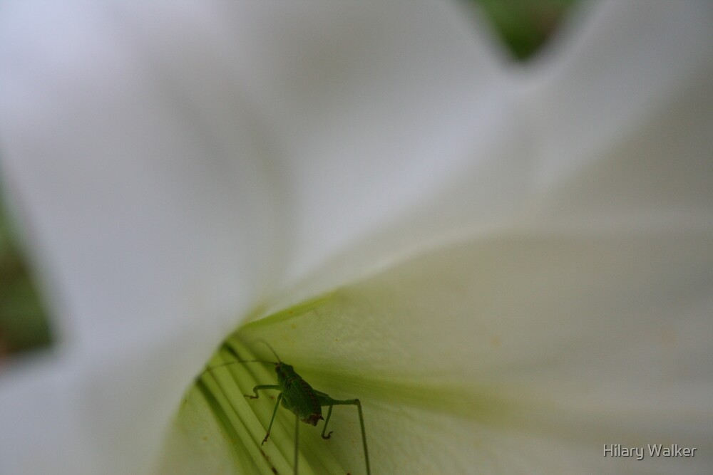 Bug in a Lily by Hilary Walker