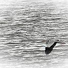 Heron in flight over the River Slaney, Wexford, Ireland by David Carton