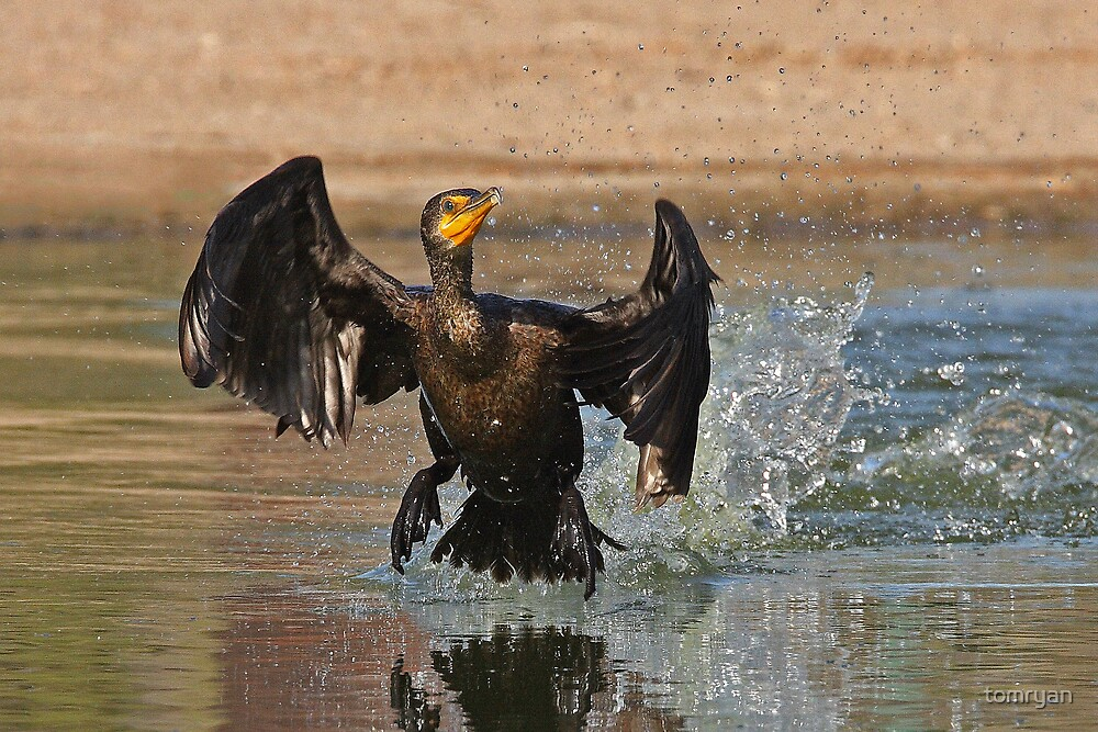 Cormorant Taking Off by tomryan