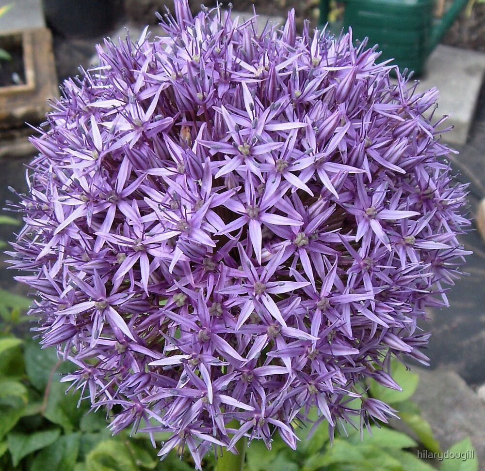 Allium (Onion) by hilarydougill