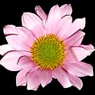Pink Daisy by Artway