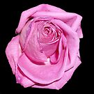 Pink Rose by Artway