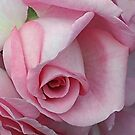 Pink Rose by Ethna Gillespie