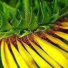 Sunflower by Rebecca Cruz