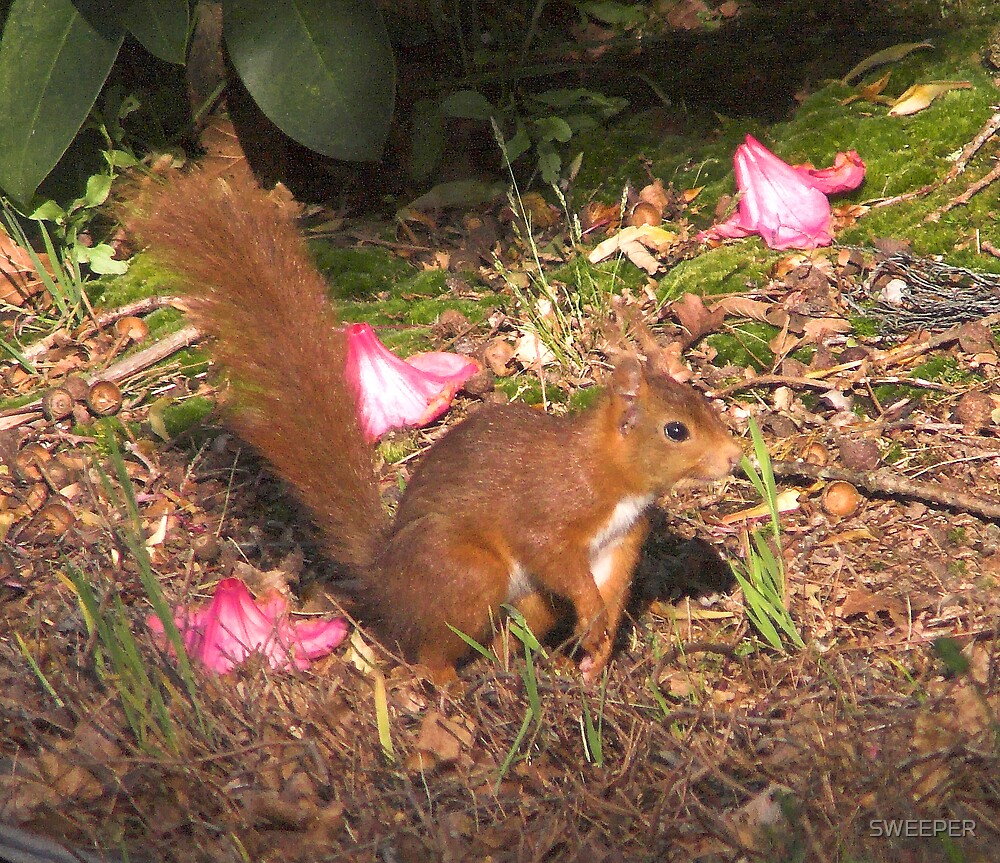 Red Squirrel by SWEEPER
