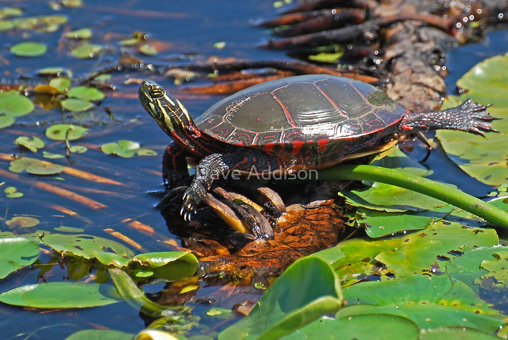 """"""" Painted Turtle """" by Dave Addison"""
