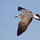 Juvenile Gull by David Linkenauger